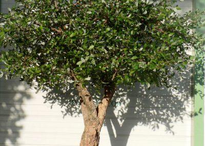 Chêne liège arbre semi-naturel