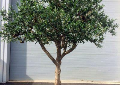 Olivier parasol arbre semi-naturel
