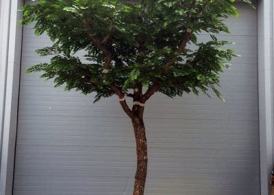 ACACIA arbre semi-naturel