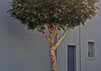 BOULEAU arbre semi-naturel